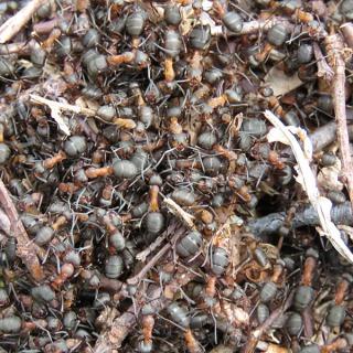 IMG_1825 wood ants