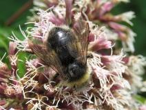 IMG_8955 Bee