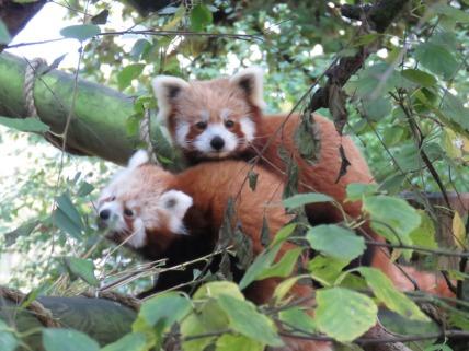 img_2065-red-pandas